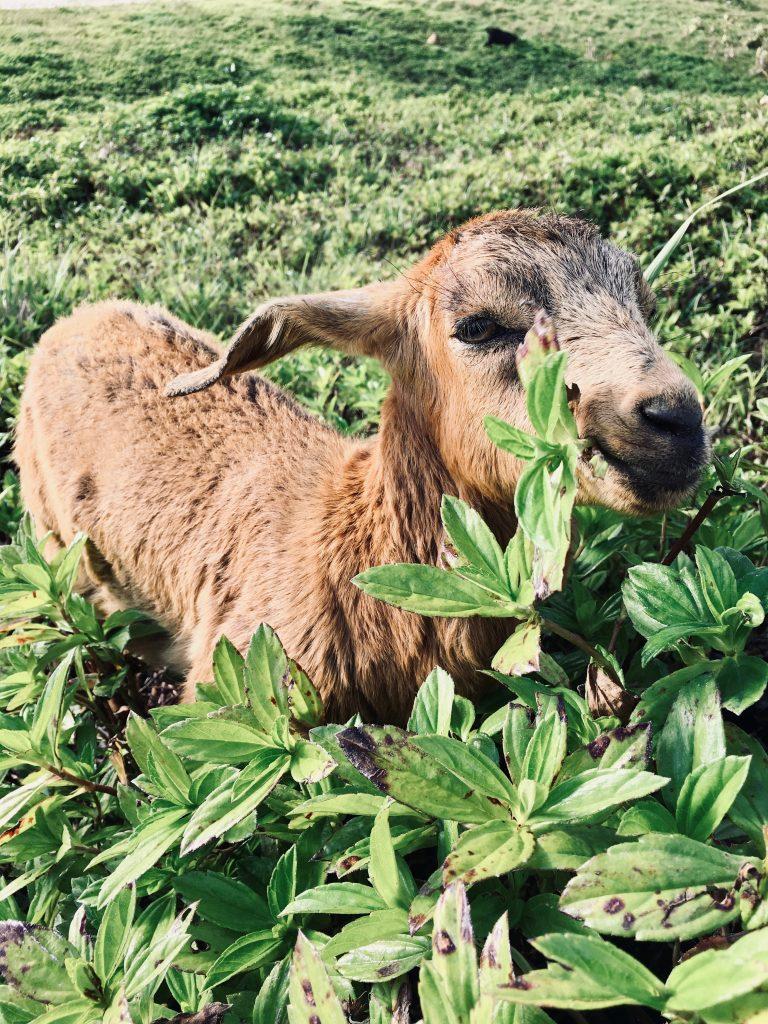 goat Moalboal