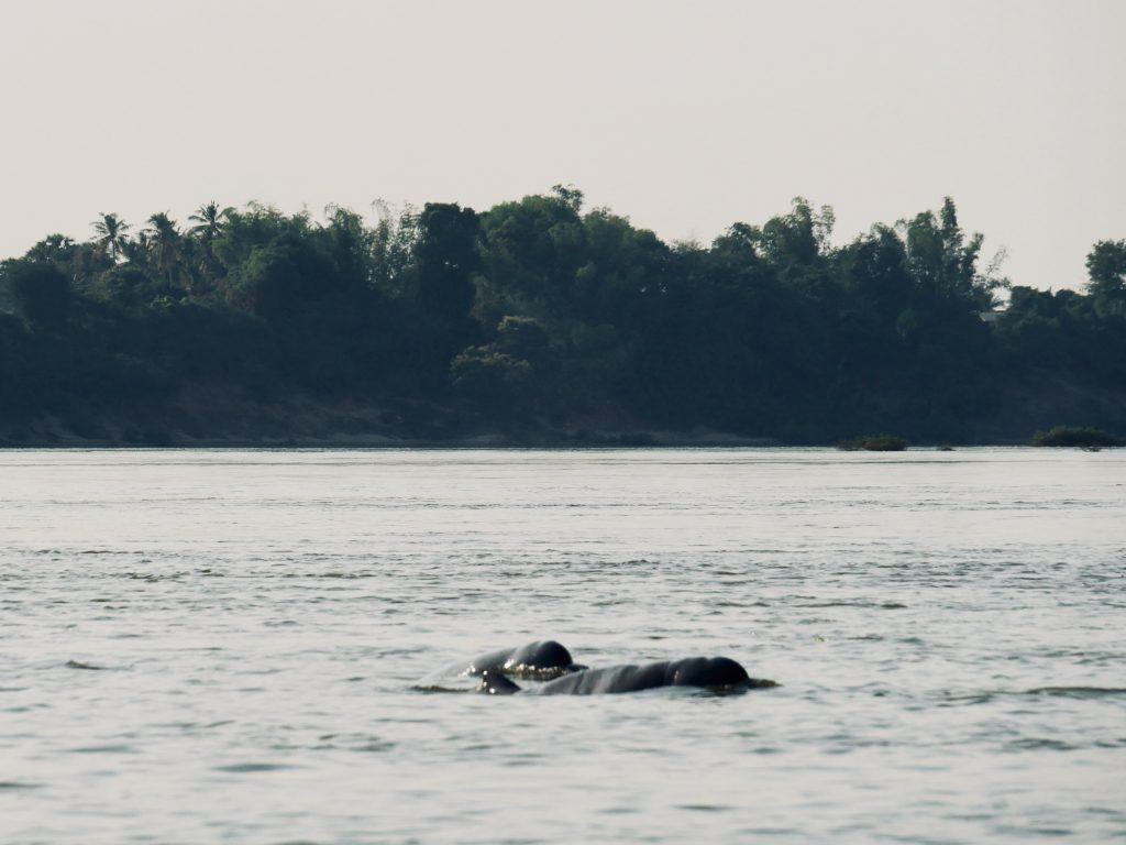 Irrawaddy Delfine