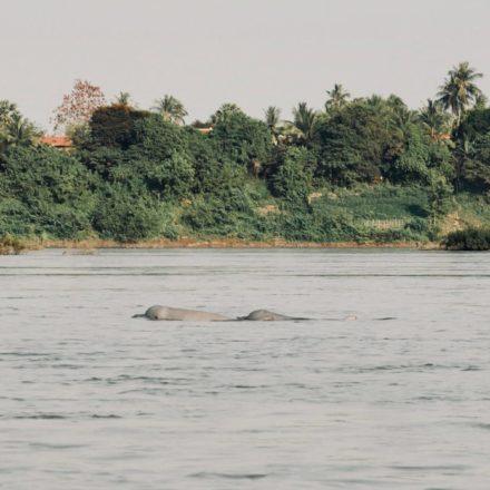 Irrawaddy Delfine im Mekong bei Kratie, Kambodscha