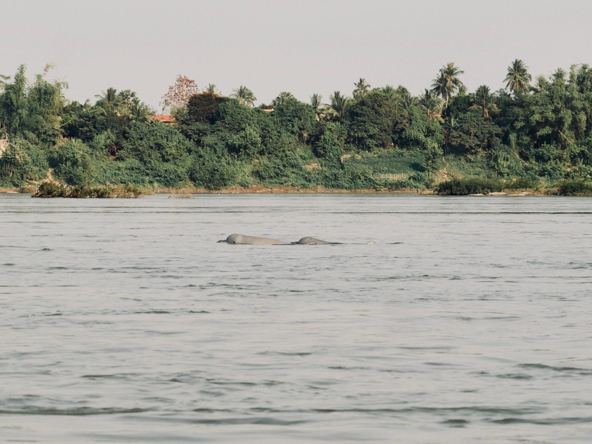 Über häßliche Irrawaddy Delfine im Mekong bei Kratie