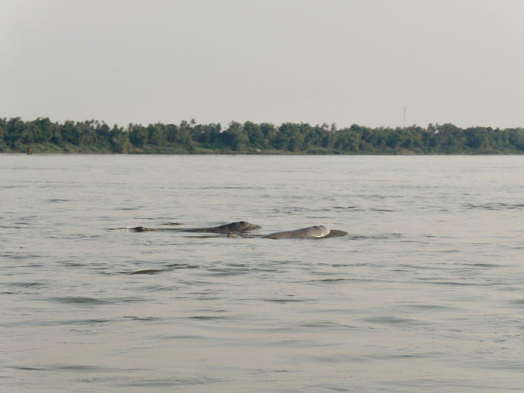 Irawadi Irrawaddy Delfine Kratie