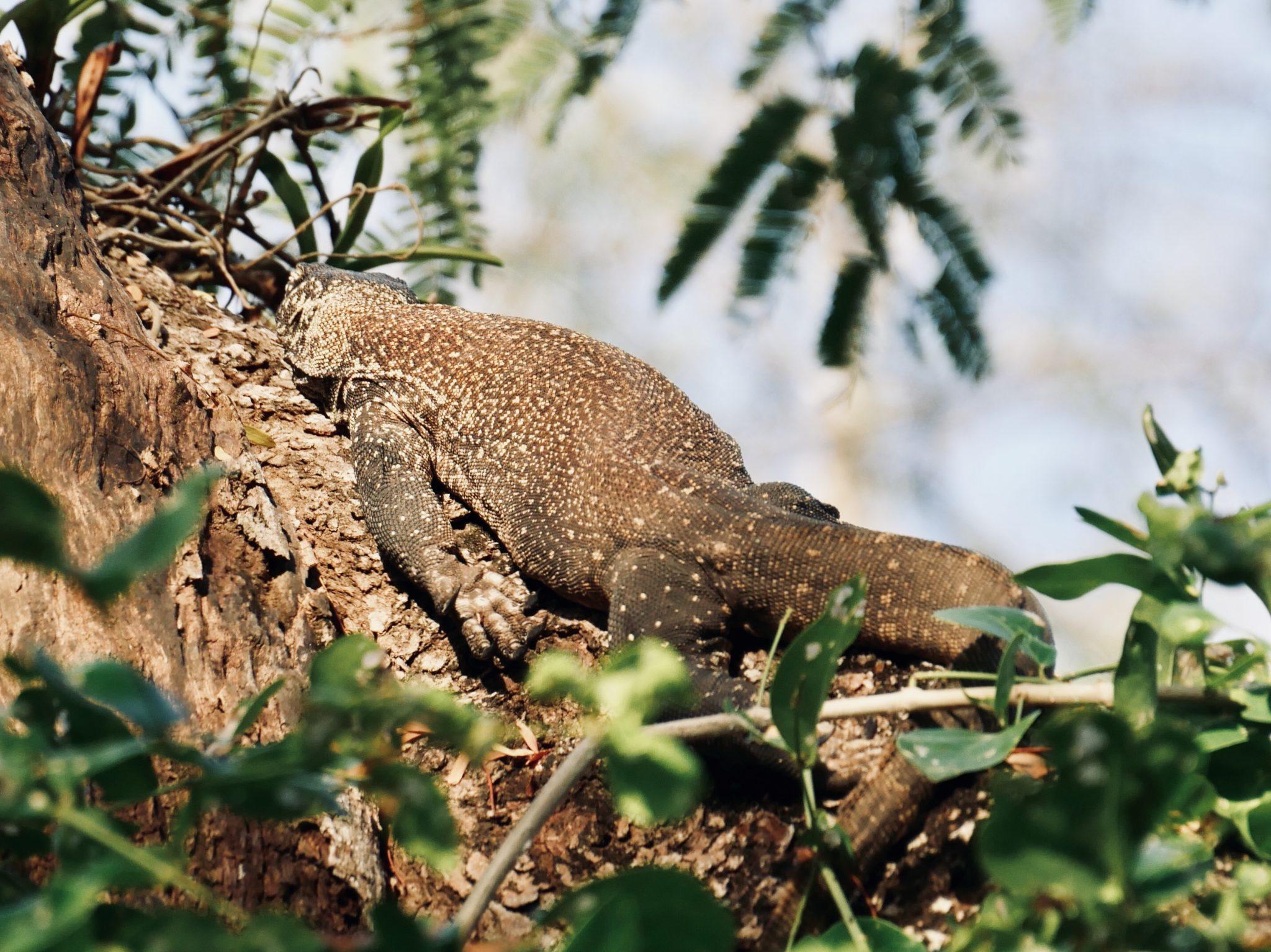 Komodo Baby